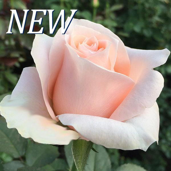 Rosa Pink Robin-WAC B.V.
