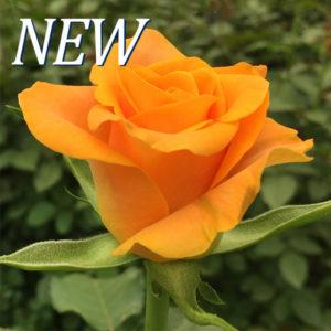 Orange Lark